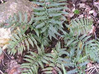 Polystichum richardii
